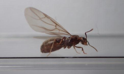 サクラアリの羽アリ