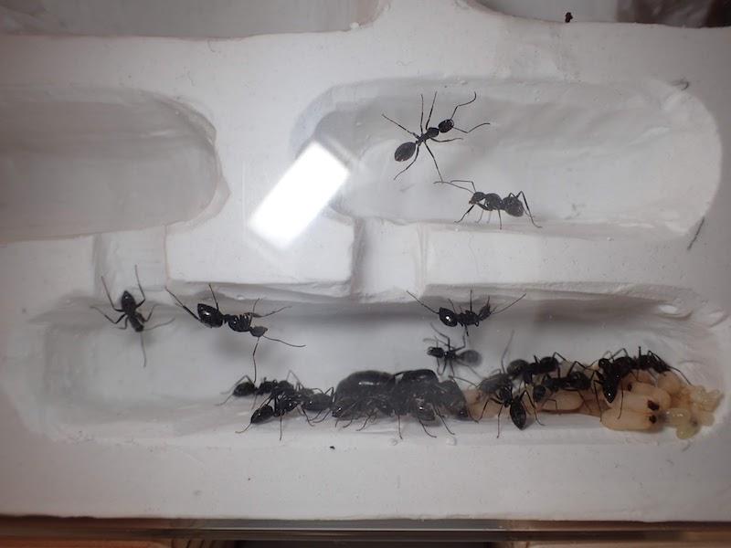 蟻の巣型飼育ケース
