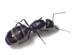 【巨大蟻】日本で1番大きな最大のアリは?TOP3大公開!