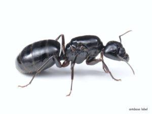 【巨大蟻】日本で1番大きな最大のアリは?TOP2+4種大公開!