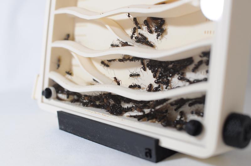 アリ飼育ケースのアリ