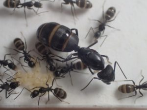 【クロオオアリ】特徴や女王アリ、飼育方法、羽アリなどまとめ
