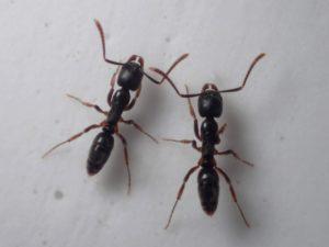 日本に毒針を持つアリはいる?代表的な3種!