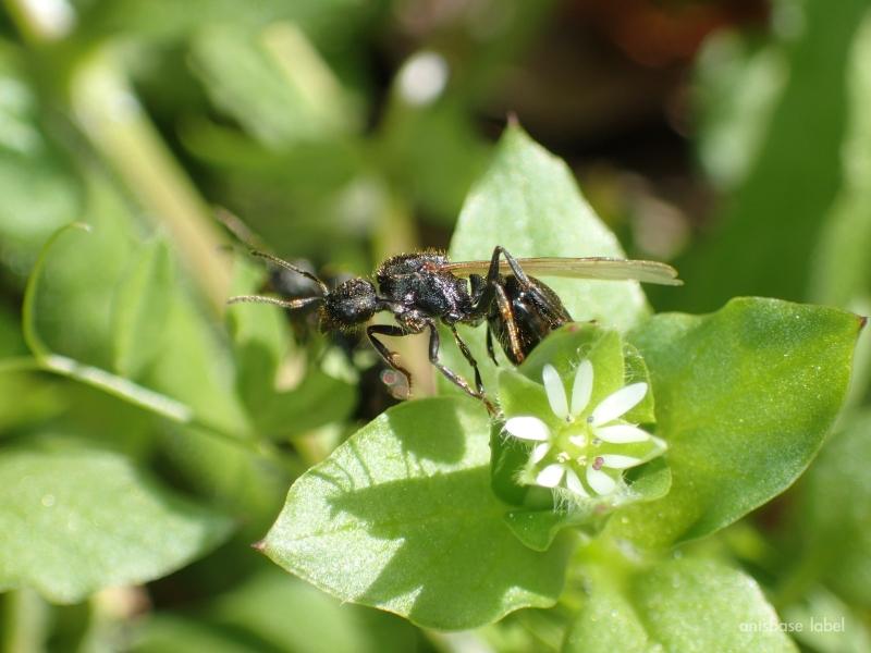 クロナガアリの女王蟻