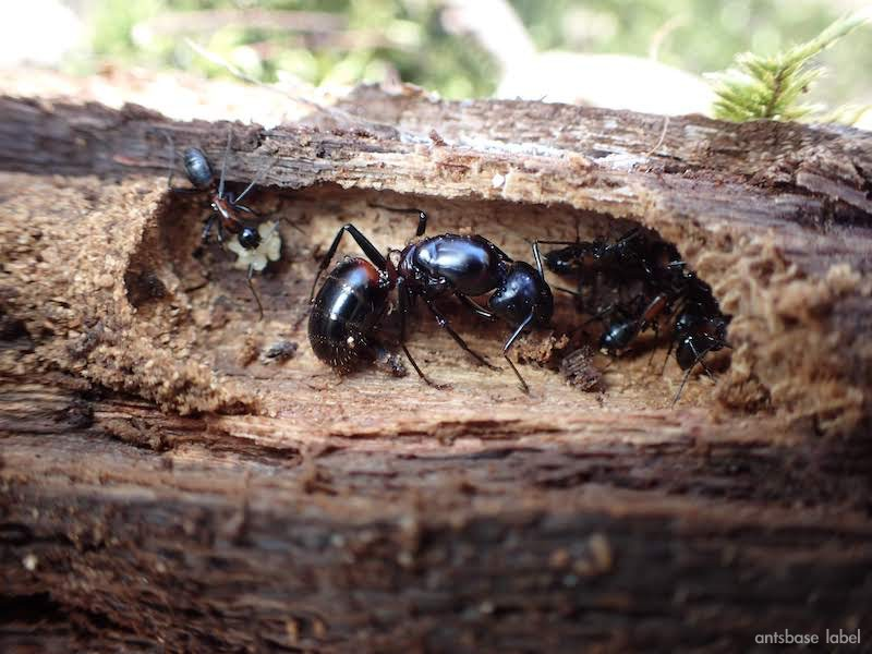 ムネアカオオアリの特徴や飼育方法・女王アリ採集方法まとめ