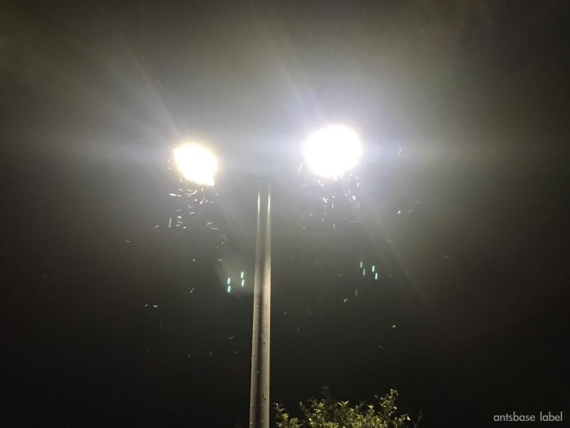 電灯に集まるアメイロオオアリ