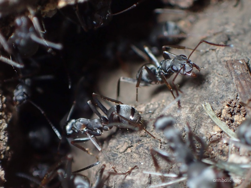 クロヤマアリの巣穴