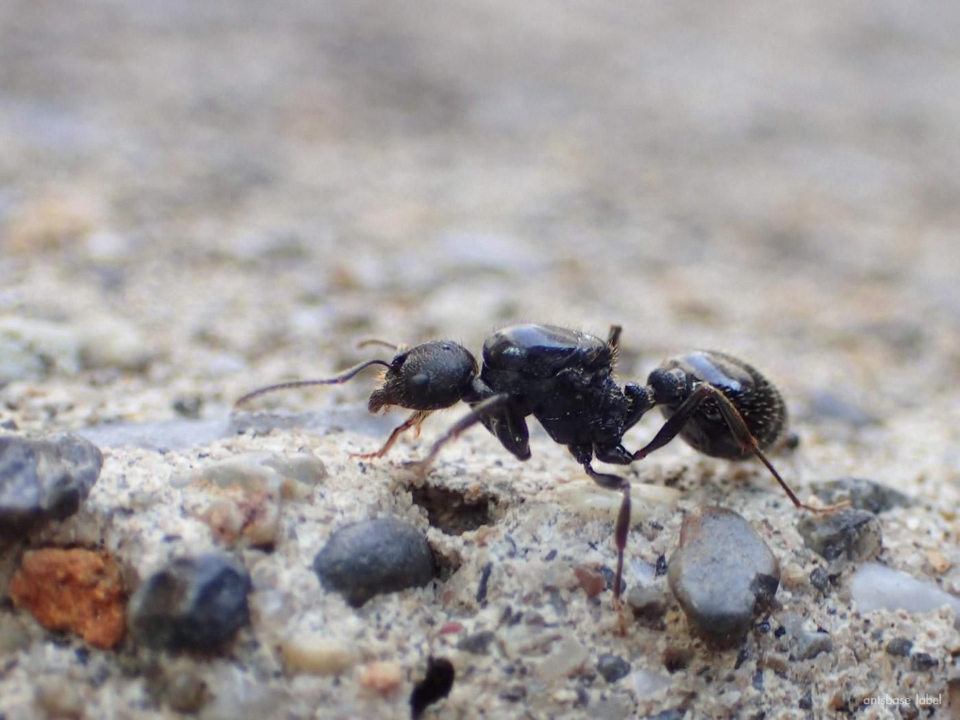 「新女王アリ」と「コロニー」最初に蟻を飼育するならどっち?